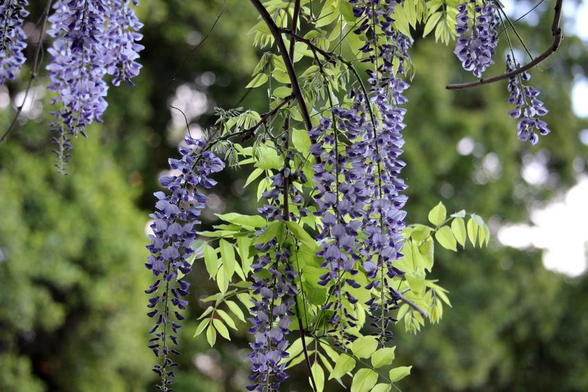Glicynia chińska i pnącza ogrodowe w czasie kwitnienia oraz uprawa i pielęgnacja
