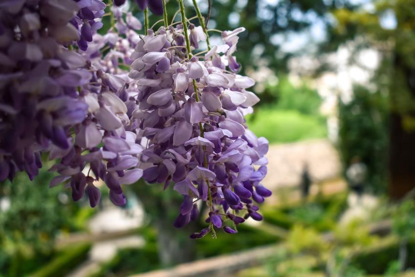 Glicynia chińska i jej kwiatostan w czasie kwitnienia oraz uprawa i pielęgnacja