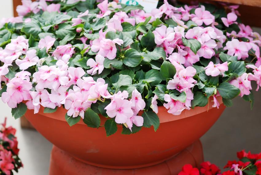 Niecierpek w doniczce w czasie kwitnienia, a także odmiany, uprawa, rozmnażanie