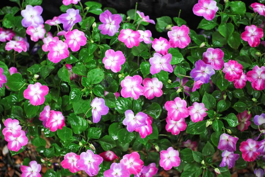 Niecierpek w ogrodzie w czasie kwitnienia, a także odmiany, uprawa, pielęgnacja