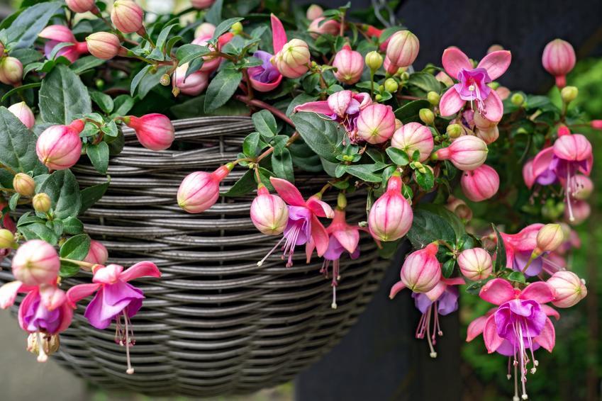 Kwiat fuksja w czasie kwitnienia w wiklinowej doniczce, a także uprawa fuksji