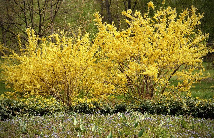 Krzew forsycja pośrednia w czasie kwitnienia w ogrodzie oraz jej uprawa i pielęgnacja