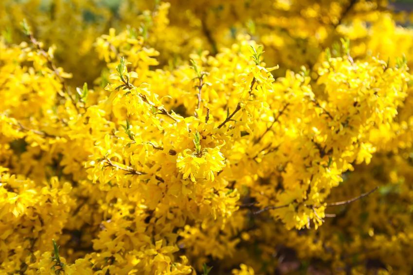 Krzew forsycja pośrednia w czasie kwitnienia i zbliżenie na kwiaty oraz jej uprawa i pielęgnacja