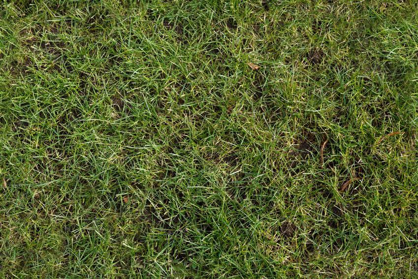 Trawnik w ogrodzie, a także trawnik po zimie, pielęgnacja trawnika po zimie