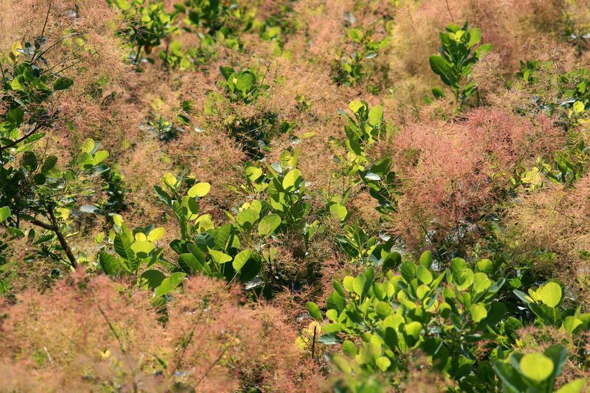 Perukowiec lub tak zwany perukowiec podolski w ogrodzie, jego sadzenie, uprawa i pielęgnacja
