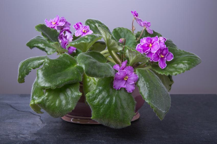 Kwiat fiołek afrykański w doniczce, a także jego uprawa i pielęgnacja