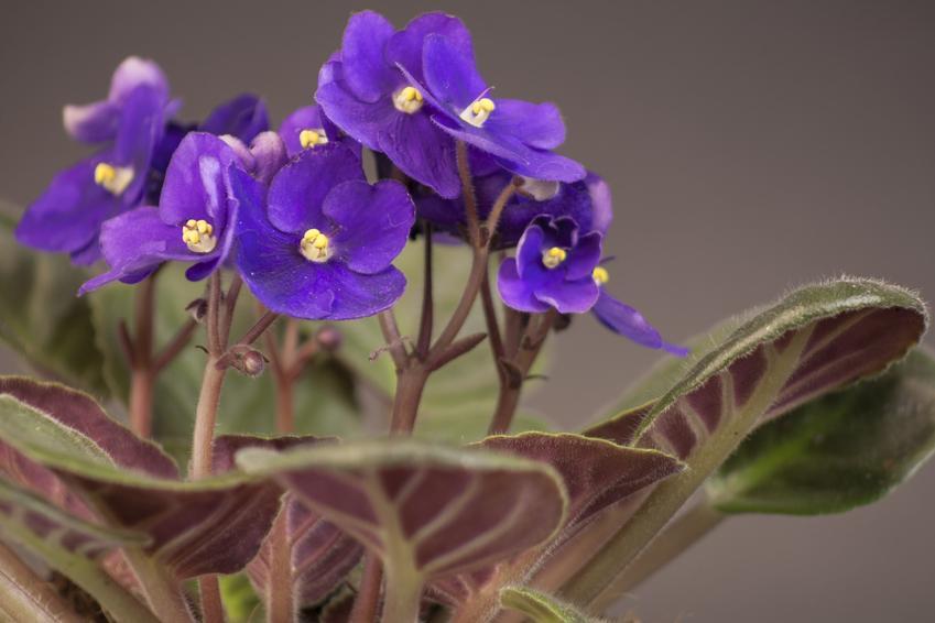 Kwiat fiołek afrykański w czasie kwitnienia, a także jego uprawa i pielęgnacja