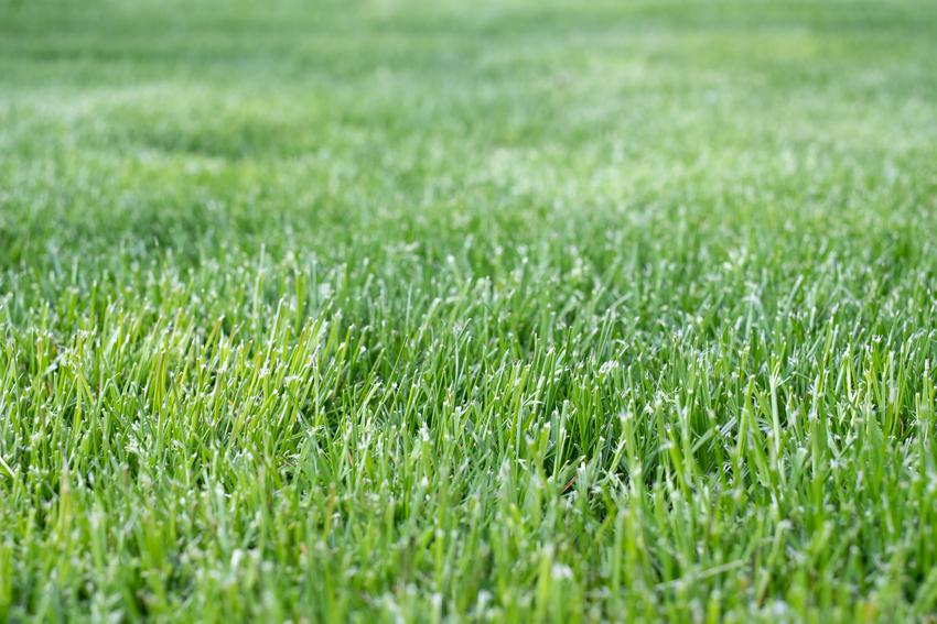Wapno na trawniku, czyli wapnowanie trawnika, odkwaszanie trawnika i kiedy sypać wapno