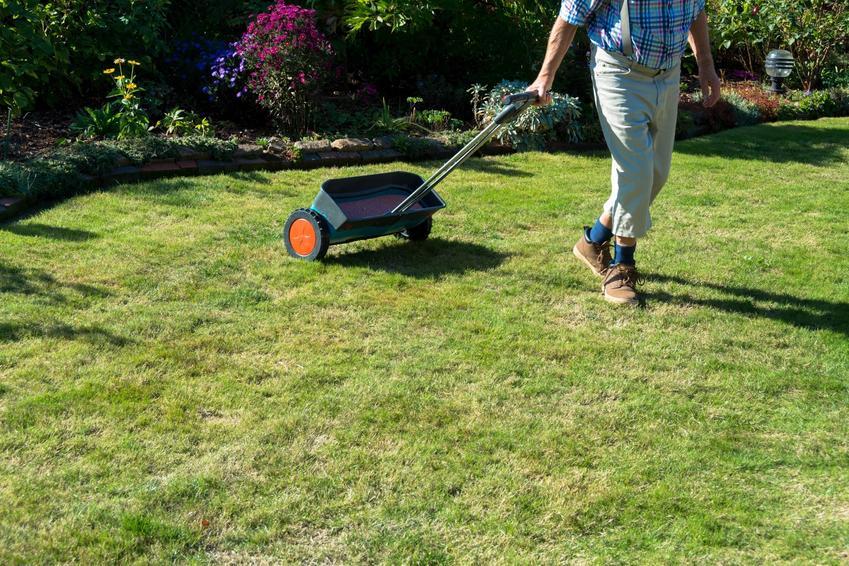 Mężczyzna sypiący wapno na trawnik, a także wapnowanie trawnika, odkwaszanie trawnika