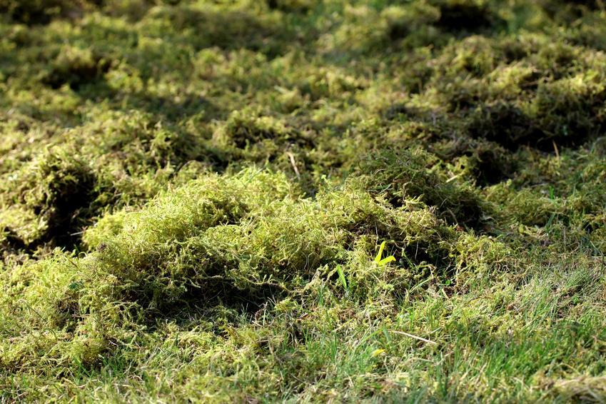 Mech w trawniku, a także skuteczne zwalczanie mchu na trawniku krok po kroku