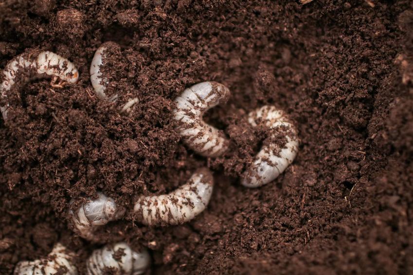 Opuchlaki i ich larwy w ziemi, a także opuchlak truskawkowiec i jego zwalczanie chemiczne