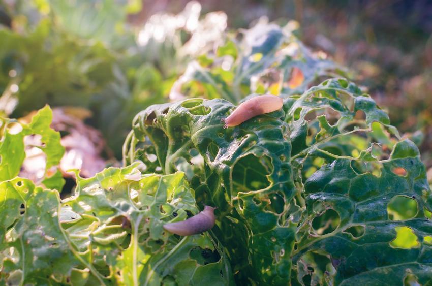 Ślimaki bez skorupy żerujące na liściu, a także porady, jak zlikwidować ślimaki w ogrodzie