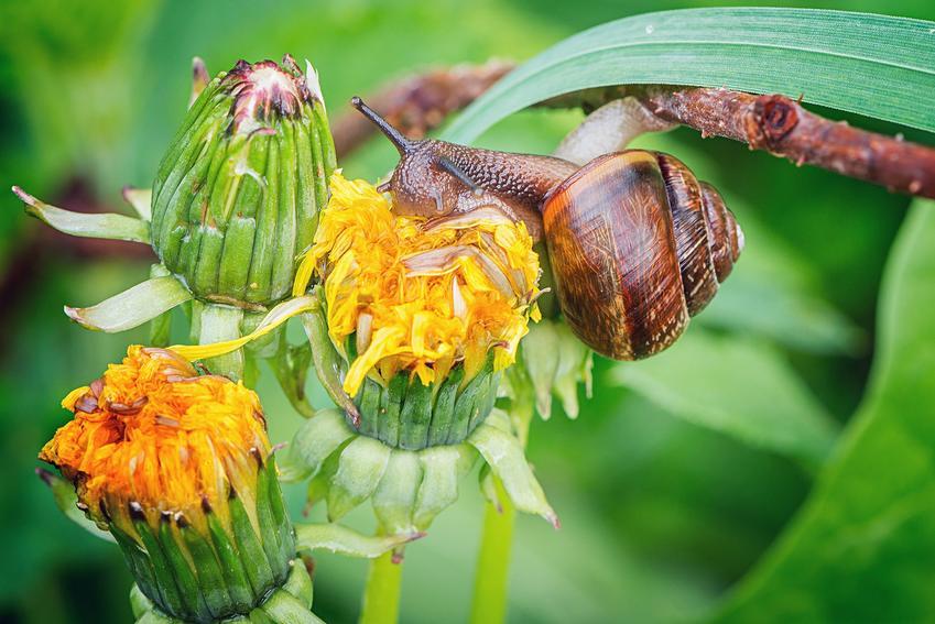 Ślimak siedzący na żółtym kwiatku, a także porady, jak zlikwidować ślimaki w ogrodzie