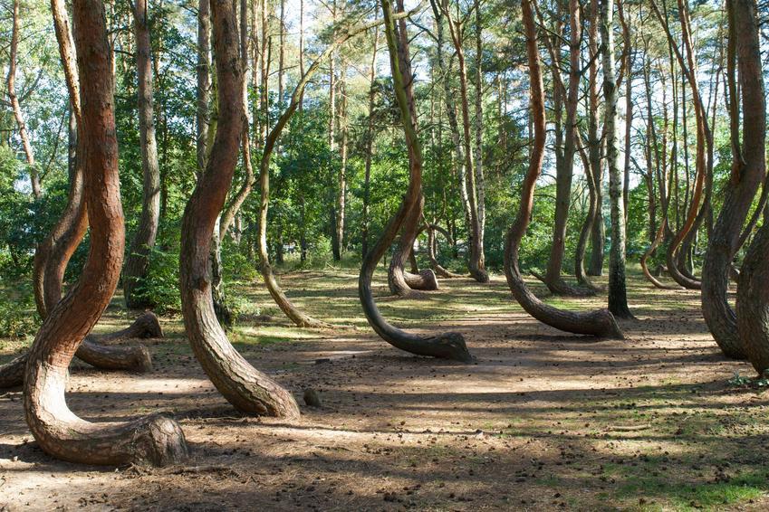 Krzywy las  i inne ciekawe miejsca na weekend w Polsce