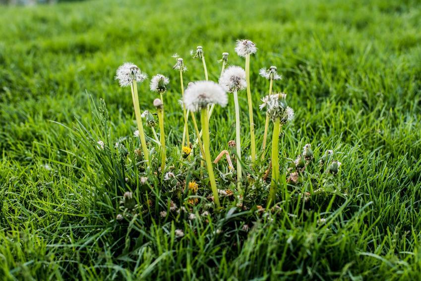 Chwasty na trawniku, czyli chwasty w trawie i sposoby i metody na zwalczanie chwastów na trawniku