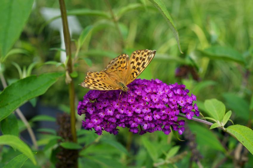 Kwiat budleja dawida na tle zieleni z motylem oraz uprawa i pielęgnacja w ogrodzie