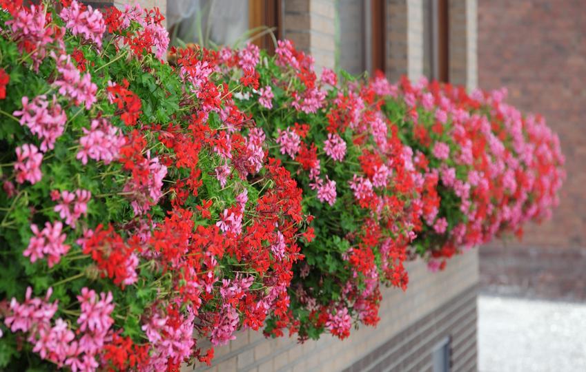 Kwiaty pelargonie w doniczce w czasie kwitnienia, a także polecane odmiany pelargonii