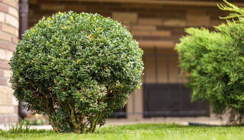 Bukszpan w ogrodzie, a także rozmnażanie bukszpanu, jak rozmnożyć bukszpan