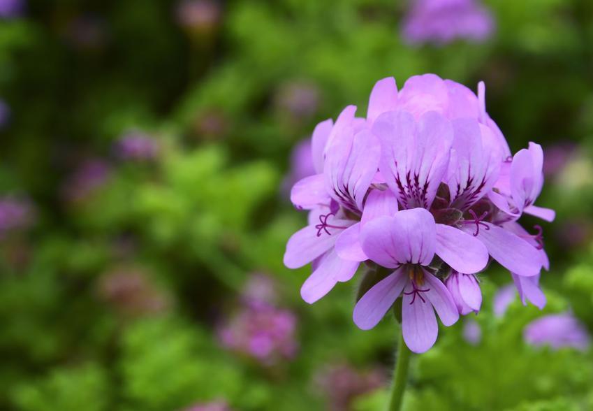 Kwiat pelargonia kaskadowa w czasie kwitnienia w ogrodzie oraz sadzenie i uprawa