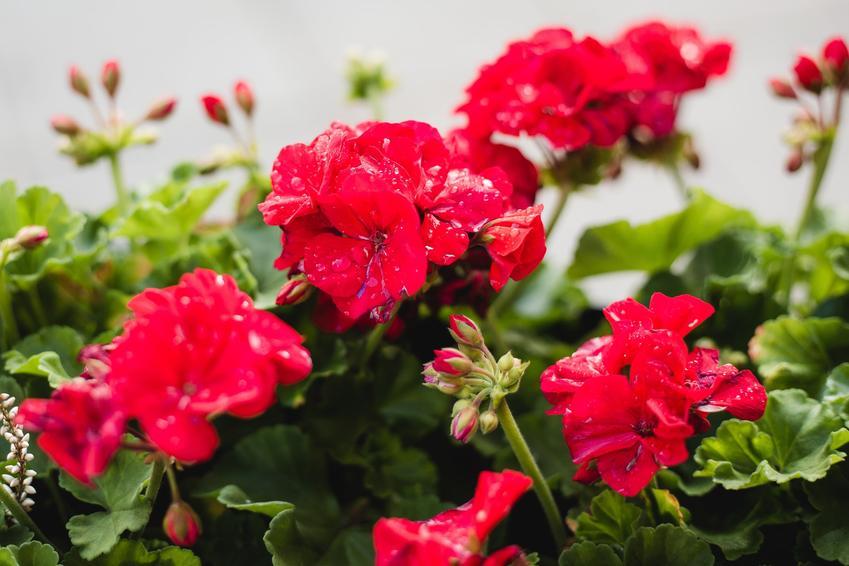 Pelargonie podczas kwitnienia, a także pelargonia kaskadowa i jej uprawa