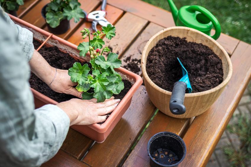 Pelargonie sadzone w doniczce, a także nawóz do pelargonii, czym nawozić pelargonie