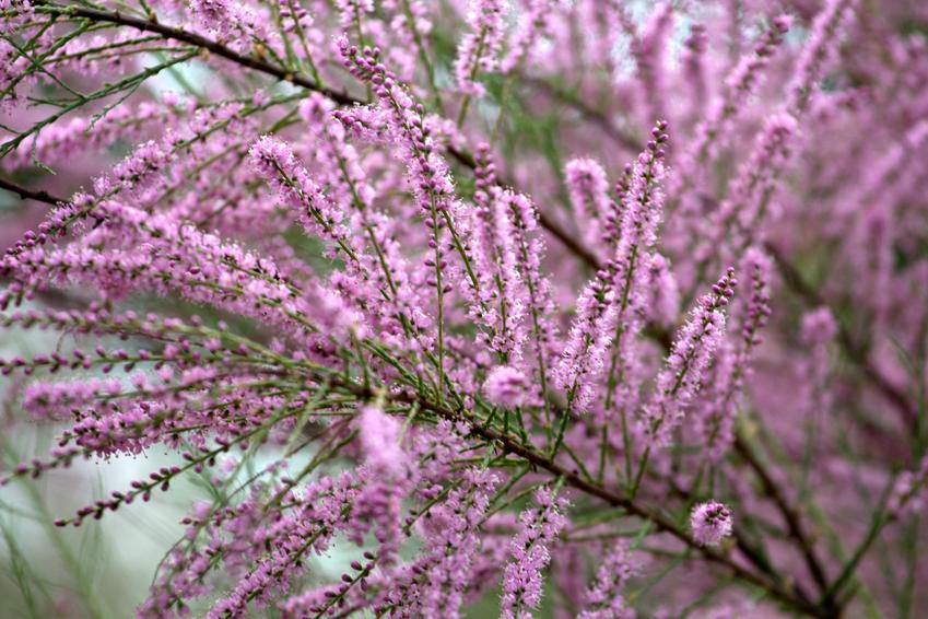 Różowy tamaryszek, a także tamaryszek drobnokwiatowy, tamaryszek pięciopręcikowy, tamaryszek francuski