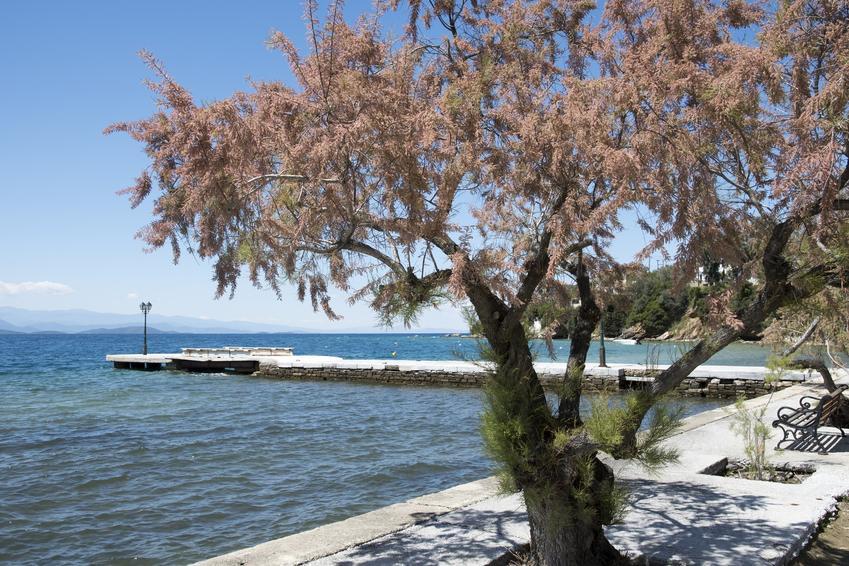 Tamaryszek francuski w czasie kwitnienia na tle morza, a także uprawa tamaryszku francuskiego
