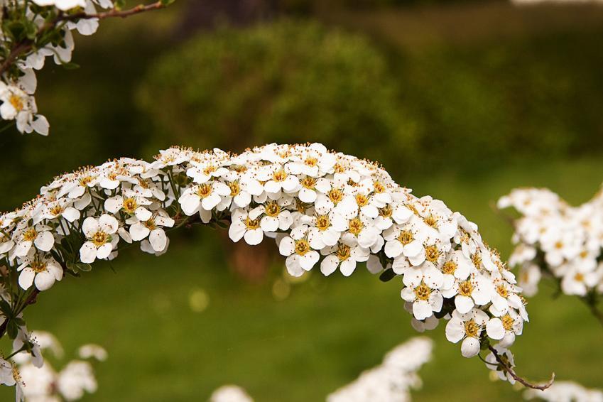Tawuła wczesna, tawuła arguta w ogrodzie w czasie kwitnienia, a także rozmnażanie i cięcie tawuły wczesnej