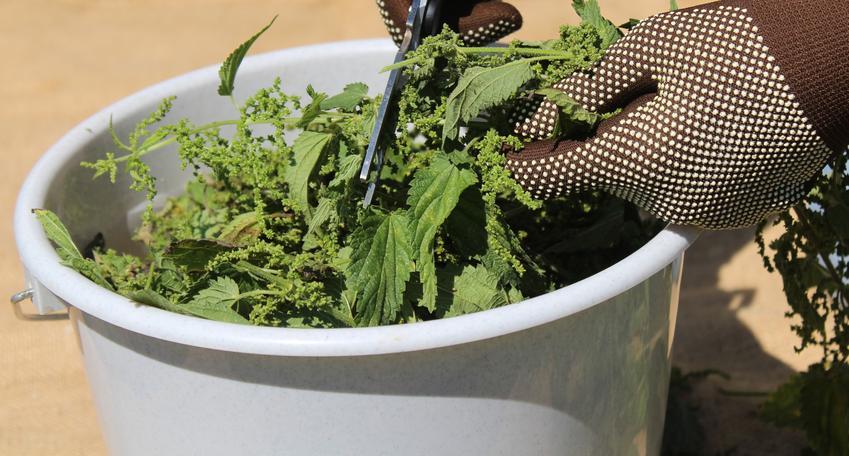 Pokrzywa w wiadrze na nawóz z pokrzyw, a także naturalny nawóz z pokrzywy i gnojówka z pokrzyw,