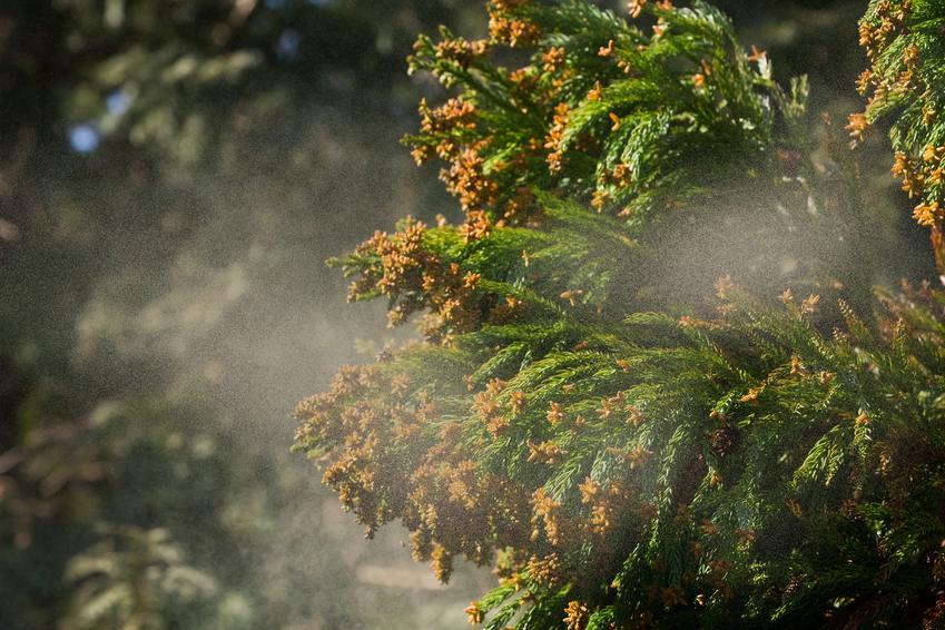 Choroby drzew iglastych i porażone igły oraz choroby świerków, choroby jałowca, choroby sosny