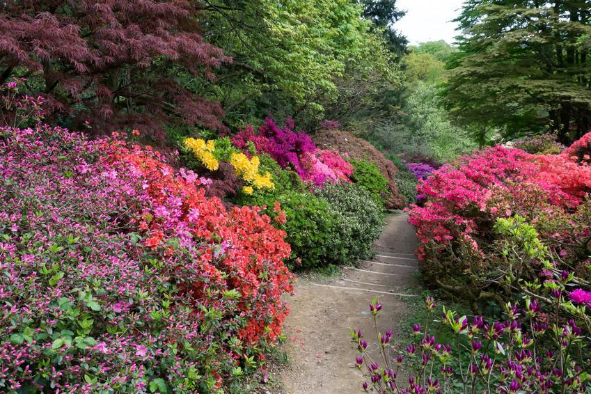 Piękny ogród i azalia wielkokwiatowa w czasie kwitnienia, a także uprawa i pielęgnacja