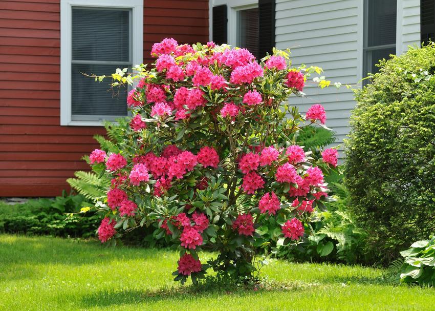 Krzew azalia wielkokwiatowa w ogrodzie w czasie kwitnienia, a także uprawa rododendronu