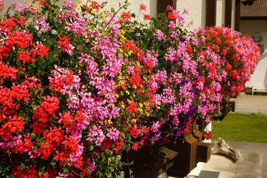 Pięknie kwitnące pelargonie na balkonie, a także pelargonie na balkon, pelargonie balkonowe, pelargonie w donicach, uprawa