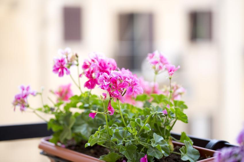 Pelargonie na balkonie, a także pelargonie balkonowe, pelargonie w donicach i ich uprawa