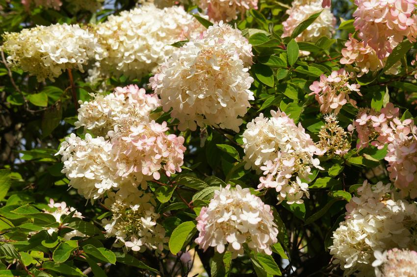 Hortensja grandiflora w czasie kwitnienia, a także hortensja bukietowa grandiflora i jej uprawa