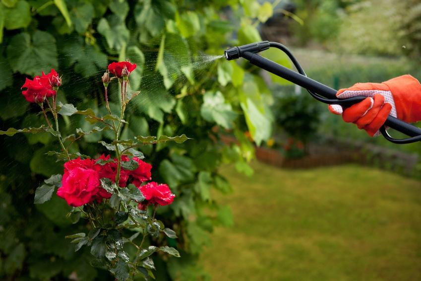 Róże opryskiwane w ogrodzie, a także nawóz do róż, rodzaje i cena