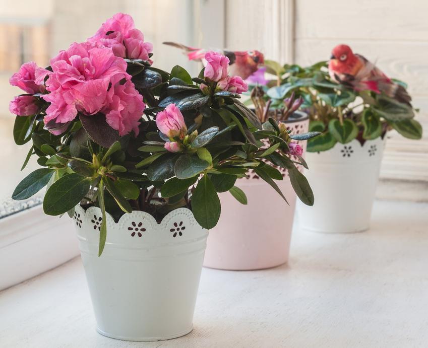 Kwiat azalia doniczkowa w podczas kwitnienia, a także uprawa i pielęgnacja