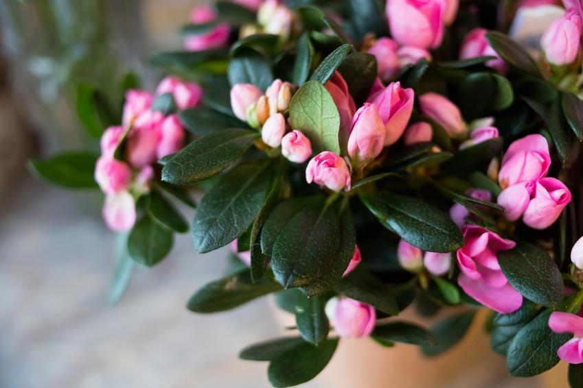 Kwitnąca azalia doniczkowa w domu, a także jej wymagania, uprawa i pielęgnacja