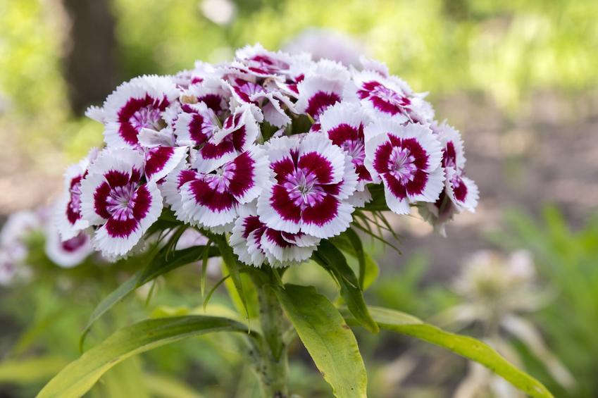 Wieloletni goździk brodaty i zbliżenie na jego kwiat, a także uprawa i pielęgnacja w ogrodzie