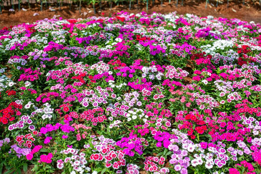 Kwiaty z gatunku goździk brodaty w czasie kwitnienia w ogrodzie, a także uprawa i pielęnacja