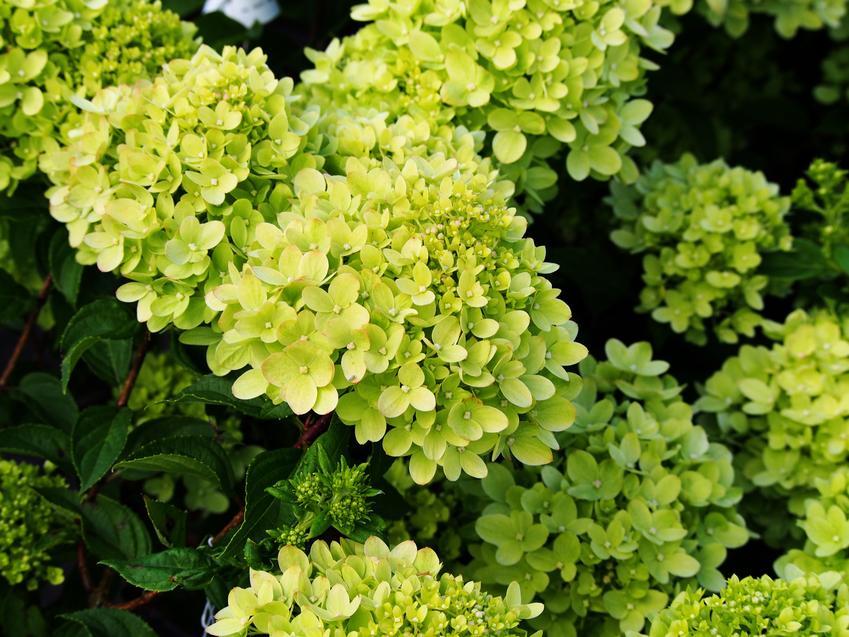 Hortensja little lime w czasie kwitnienia, czyli hydrangea paniculata, odmiany niskie hortensji bukietowej w ogrodzie