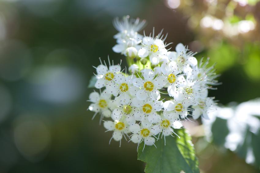 Krzew ozdobny tawuła biała i zbliżenie na jego kwiaty, a także uprawa i pielęgnacja