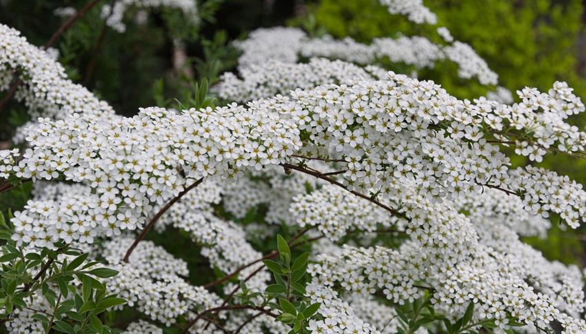Krzew tawuła biała w czasie kwitnienia w ogrodzie, a także jego uprawa i pielęgnacja