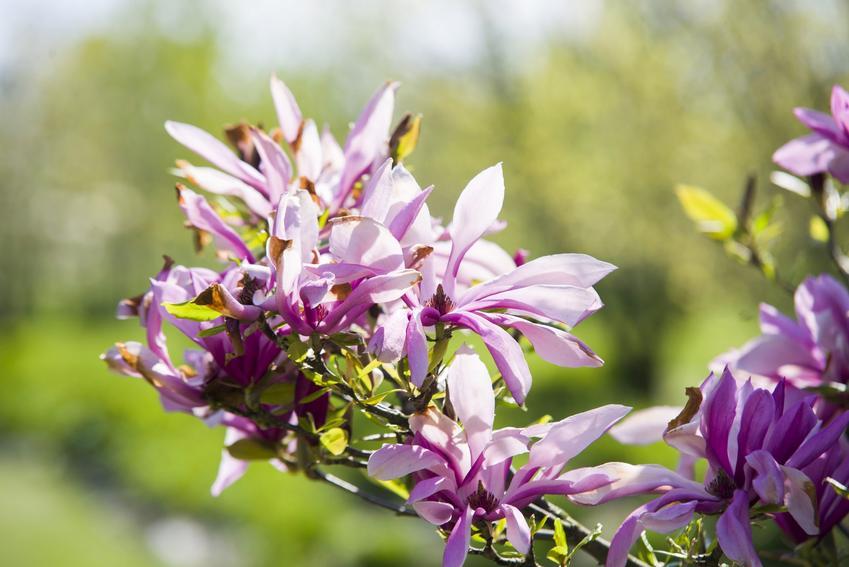 Krzew magnolia betty w czasie kwitnienia, a także sadzenie magnolii, uprawa i pielęgnacja