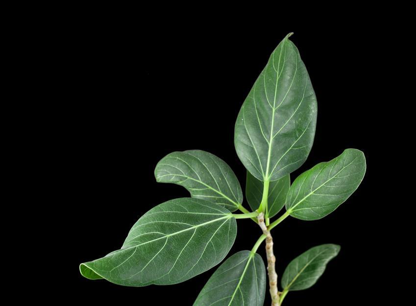Figowiec bengalski i zbliżenie na liście na czarnym tle, a także uprawa i pielęgnacja