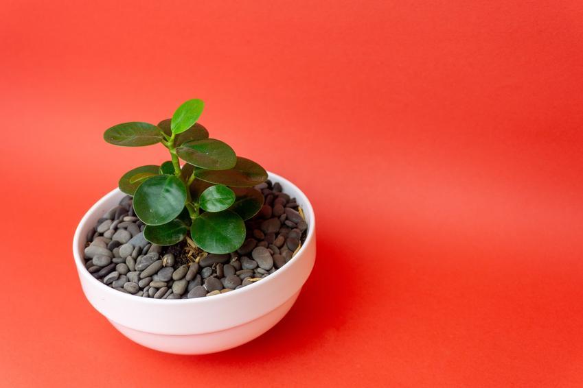 Kwiat figowiec bengalski w doniczce na czerwonym tle, a także uprawa i pielęgnacja