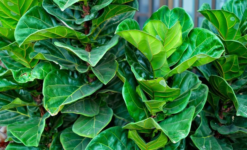 Kwiat figowiec lirolistny lub figowiec dębolistny i zbliżenie na liście, a także jego uprawa i pielęgnacja