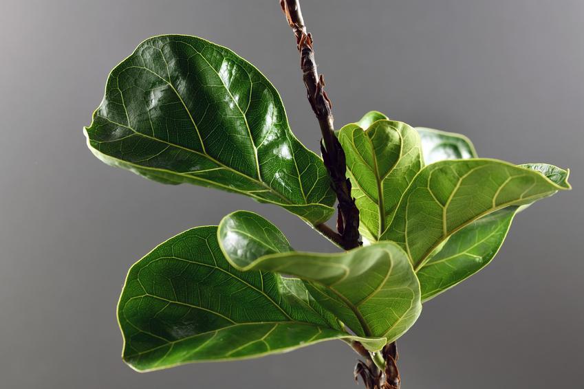 Kwiat figowiec lirolistny lub figowiec dębolistny, a także jego uprawa i pielęgnacja