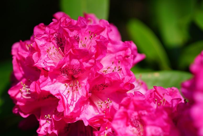 Krzew ozdobny różanecznik katawbijski, rhododendron catawbiense grandiflorum i zbliżenie na liście oraz sadzenie