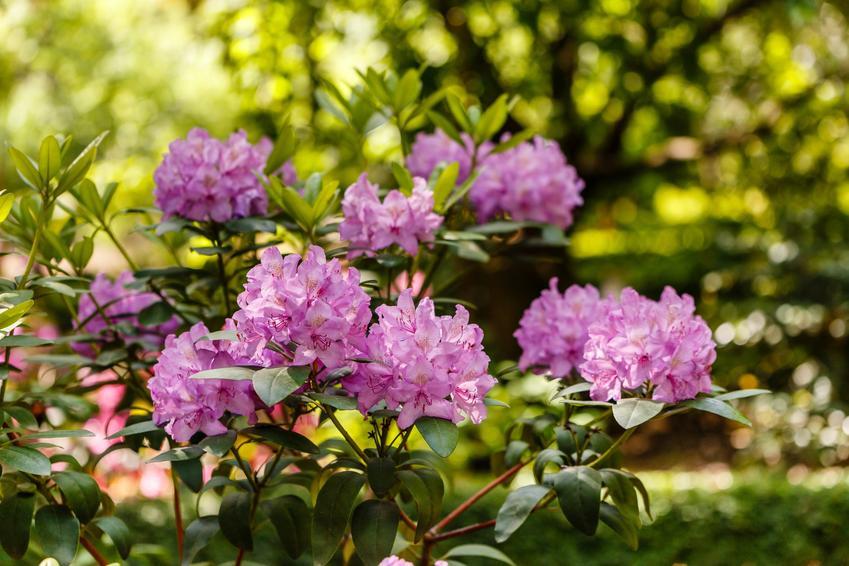 Krzew różanecznik katawbijski, rhododendron catawbiense grandiflorum w czasie kwitnienia, a także jego uprawa